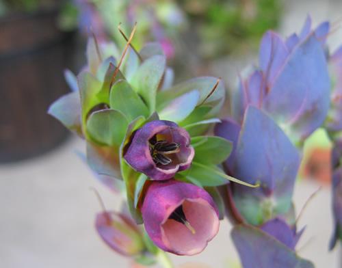 セリンセの花
