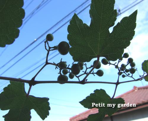 ノブドウの実