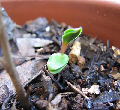 セリンセの芽
