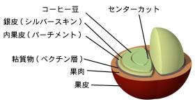 コーヒーチェリーの構造